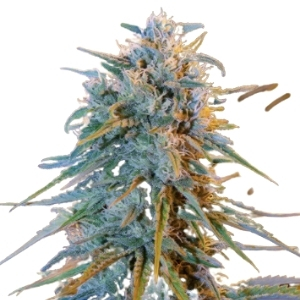 Blue Dream Feminized Seeds